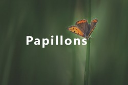 article papillon