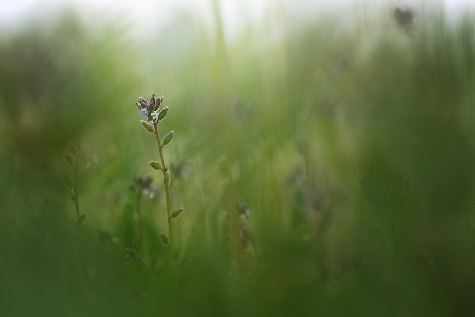 fleur champ