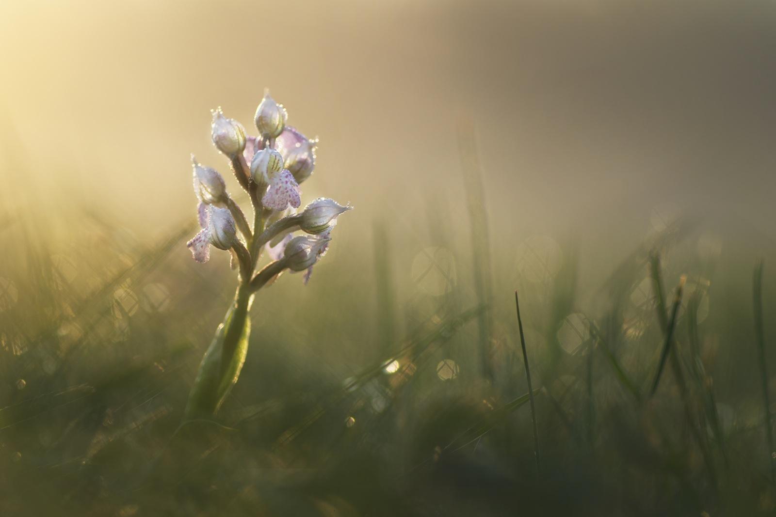 orchis lactée