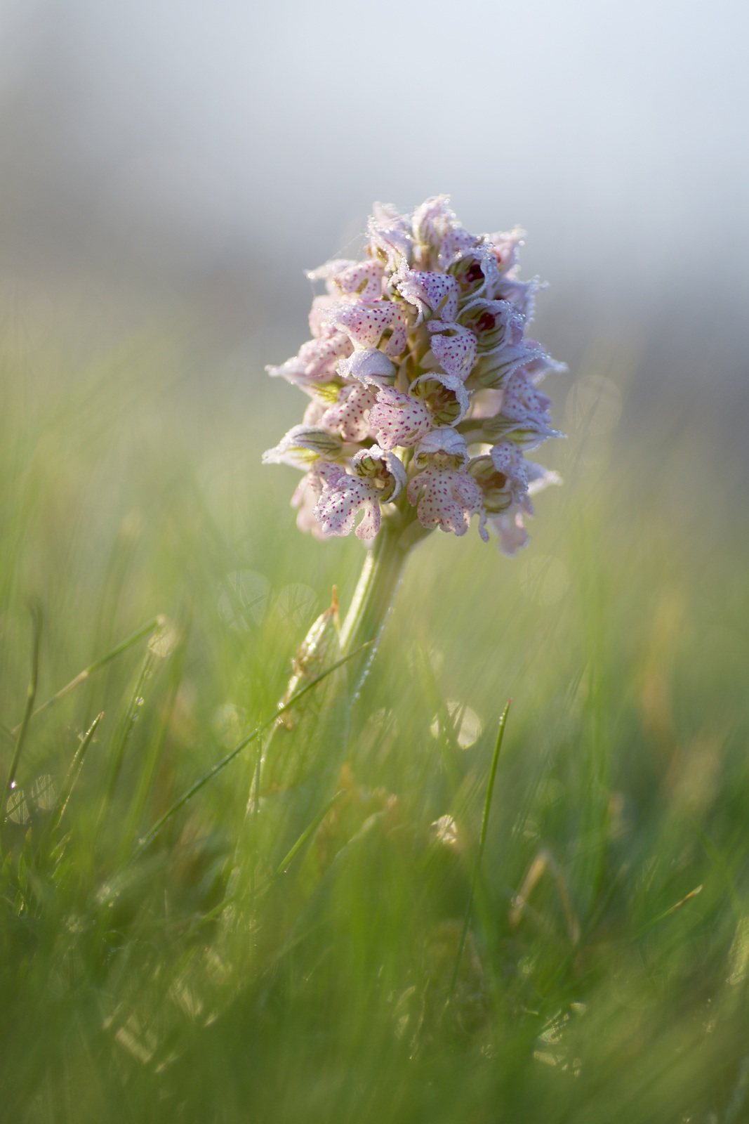 orchis lactee