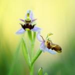 Orchidée bécasse