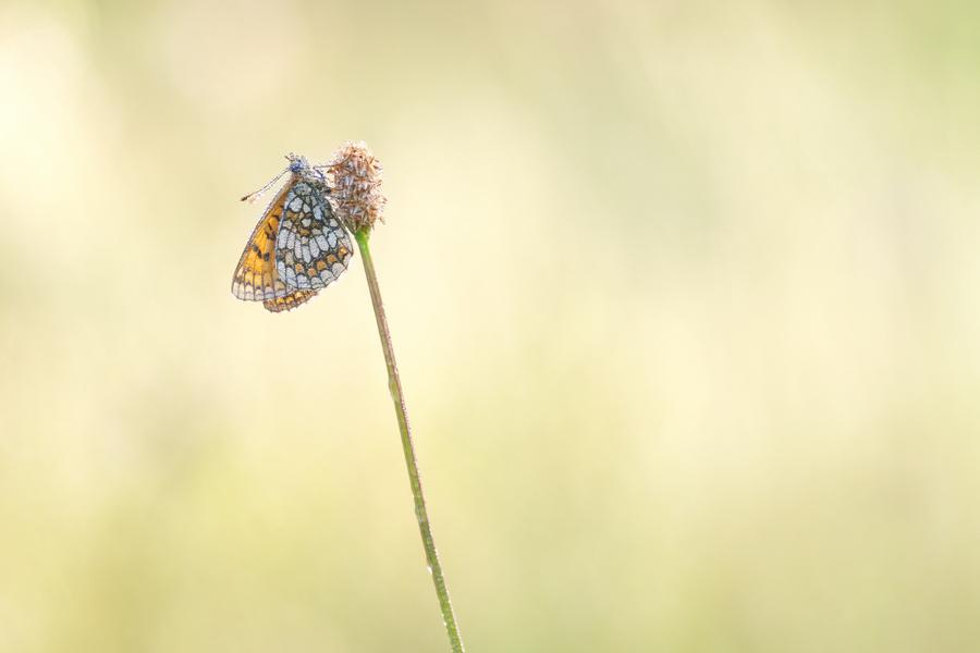 papillon06