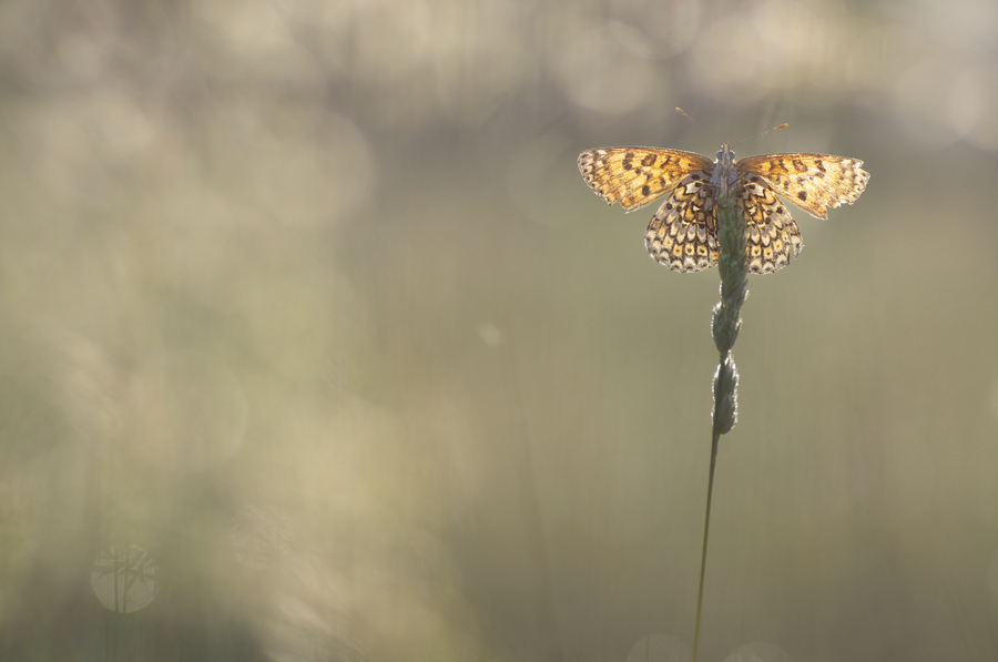 papillon09